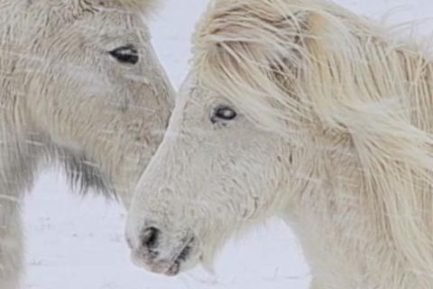 The Icelandic horse grows a thick coat in winter so it can withstand harsh weather and freezing temperatures.